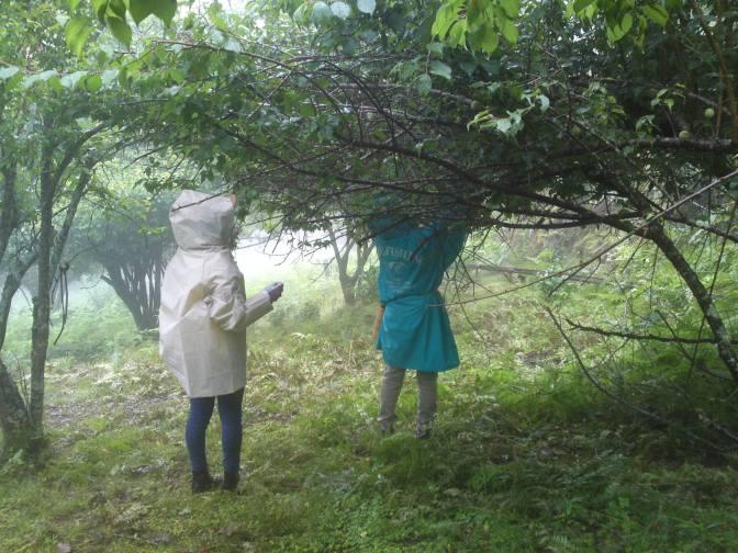 Récolte de Prunes japonaises/Umé Organiques dans Higashiminé, Ville de Shizuoka avec la Compagnie Marufuku Seicha!